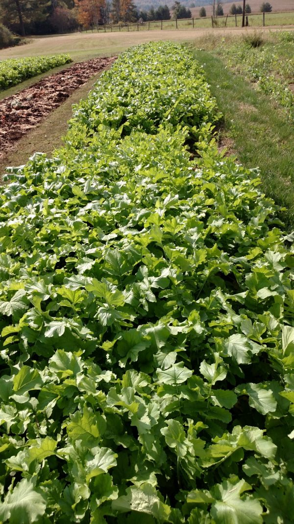Daikon Radishes Planted with JP-1 Seeder