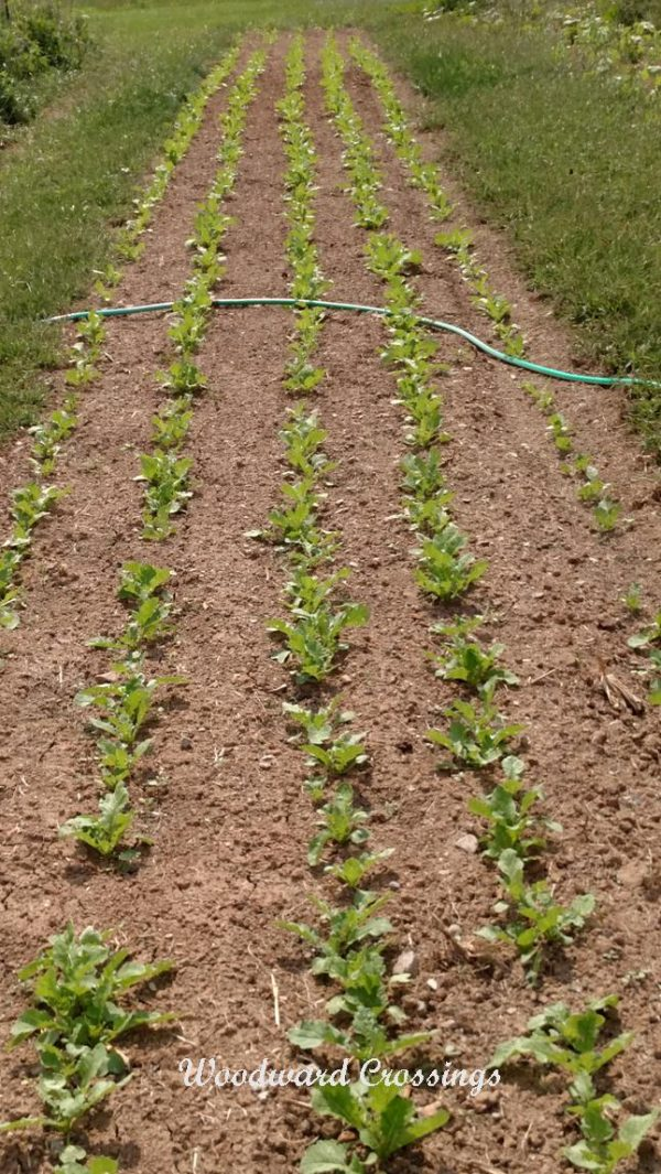Daikon Radishes Planted with LJ-12 Roller in a JP-1 Jang Seeder