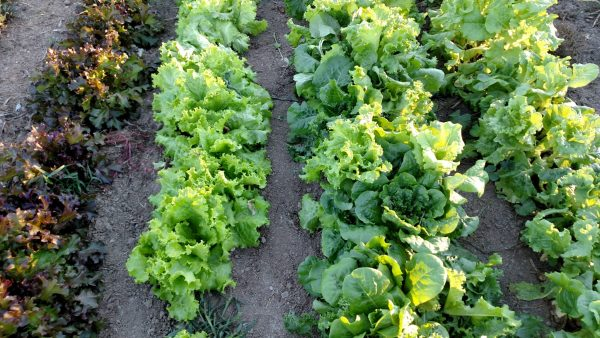Lettuce planted with Jang JP-1
